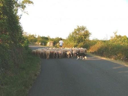 Fin de journée, le retour du troupeau à la ferme.